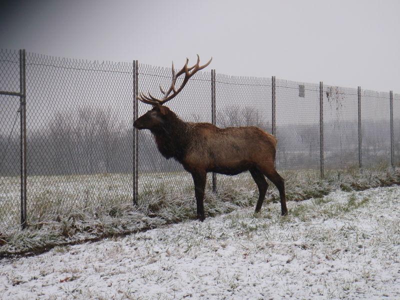 Elk at holding pen
